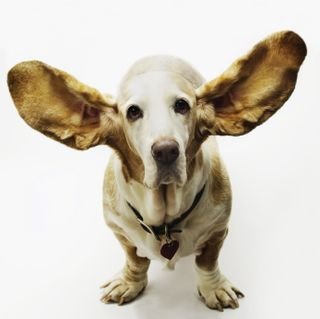 Dog with Ears out_Susan Trivers